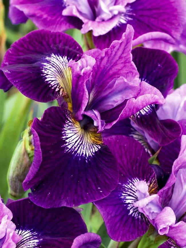 Iris Lady Vanessa