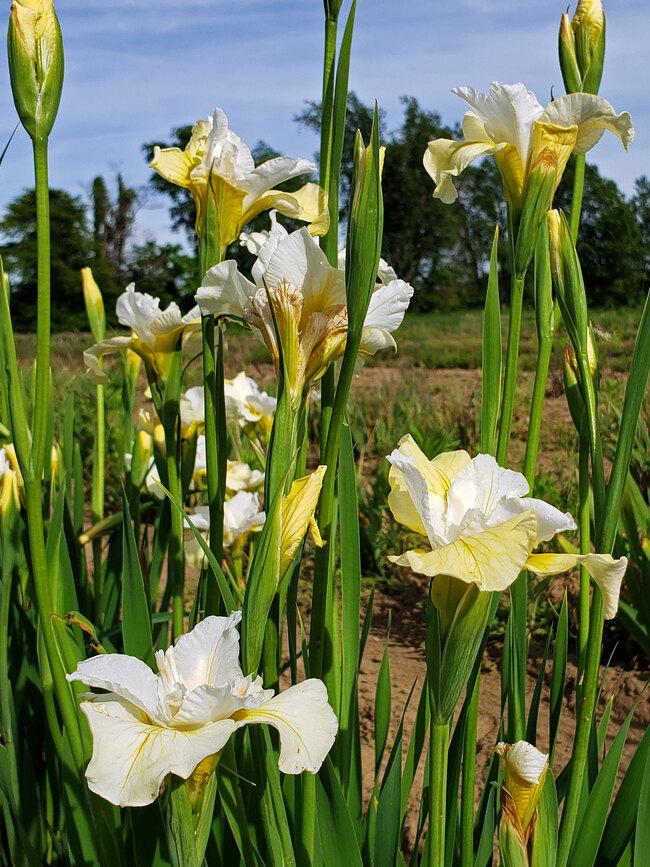 Iris Moon Silk