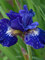 Iris Over In Gloryland