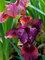 Iris Pastel Charm