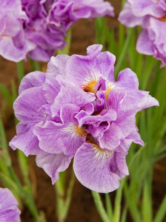 Iris Pink Parfait