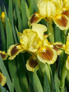 Photo of Iris Yellow Red Heart