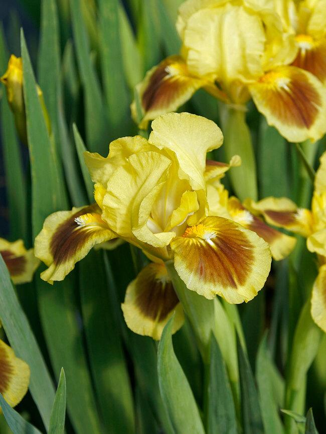 Iris Red Heart