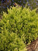 Juniperus Good Vibrations Gold