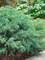 Juniperus Montana Moss