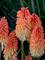 Kniphofia Hot and Cold