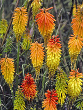 Kniphofia Triangularis