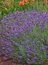 Lavandula Blue River