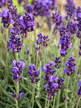 Lavandula Lavance Purple