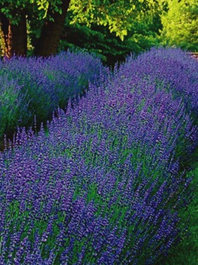 Extremely fragrant Lavender is dense, compact and very floriferous.