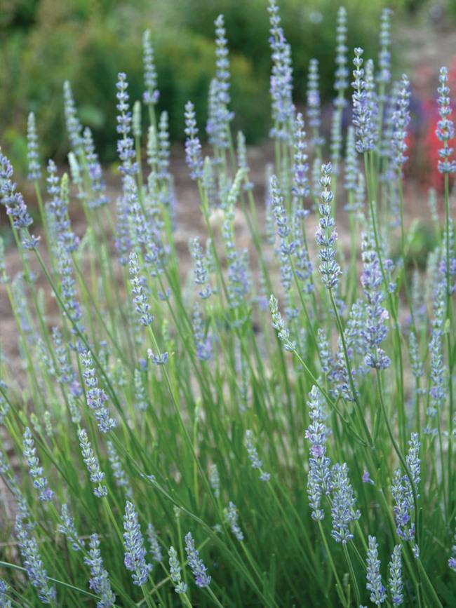 Lavandula Provence