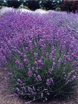Lavandula Violet Intrigue