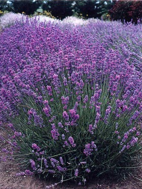 Hybrid of two strong English lavenders