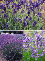 Lavandula Collection