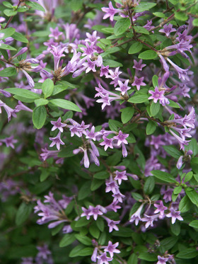 "SHRUB - Low mounding fragrant, extremely long blooming.  4"" pot"
