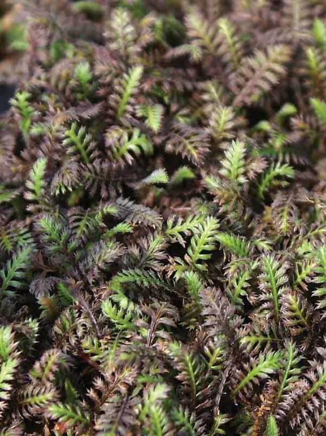 Leptinella Platts Black
