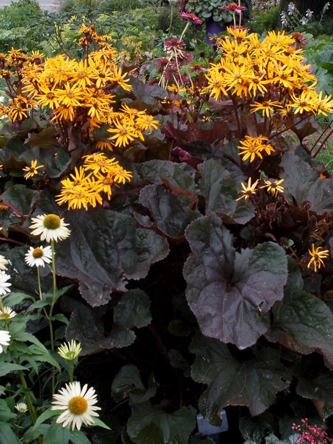 Ligularia Britt-Marie-Crawford