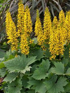 Yellow flowering perennials ligularia bottle rocket mightylinksfo