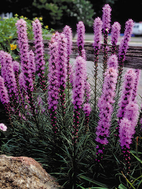 Liatris kobold bluestone perennials for Aiuole profumate