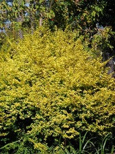 Ligustrum Sunshine
