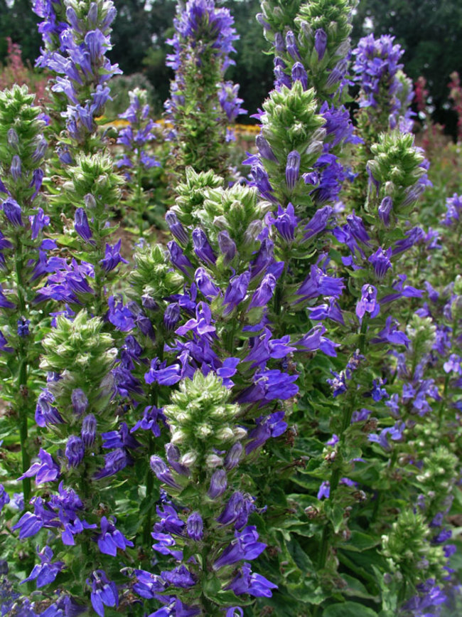 Lobelia Blue-Selection