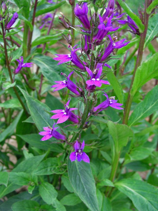 Lobelia Vedrariensis