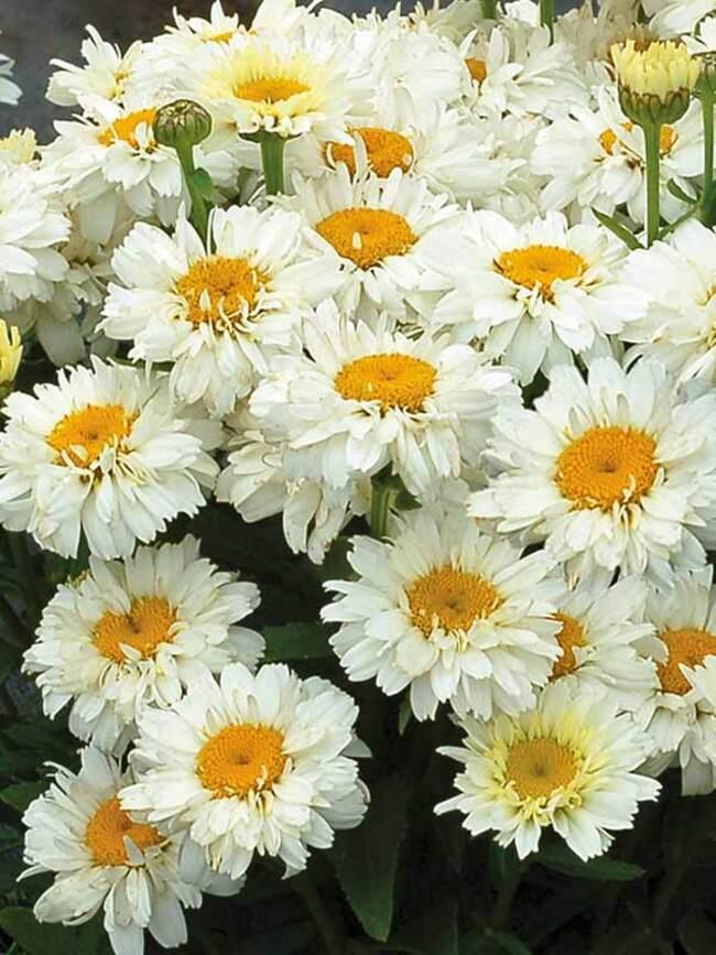 Leucanthemum Adorable