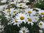 Leucanthemum Alaska