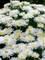 Leucanthemum Belgian Lace