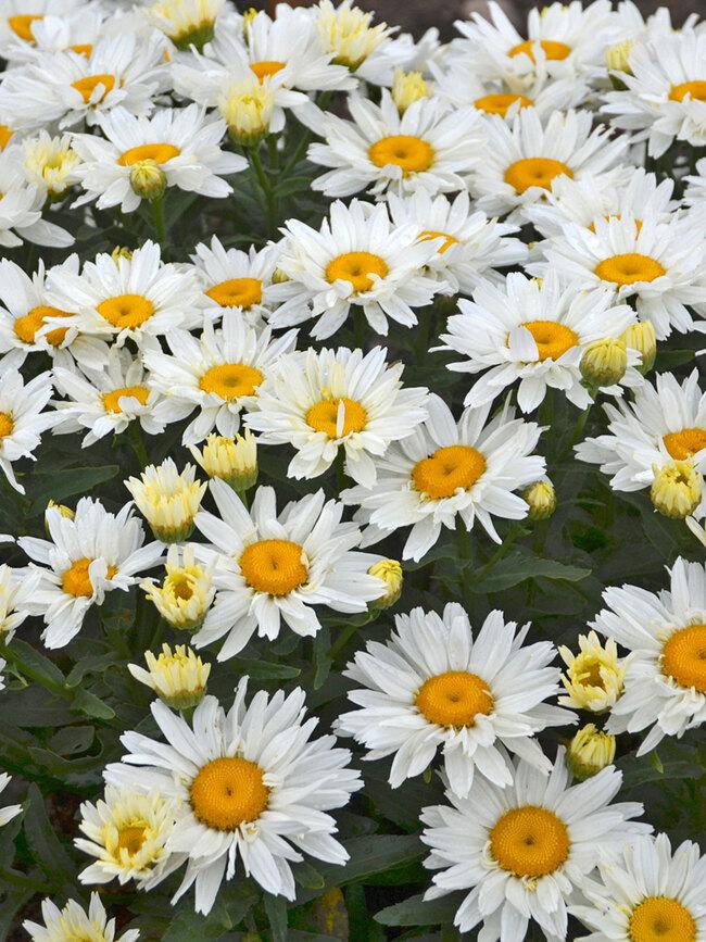 Leucanthemum Cream Puff