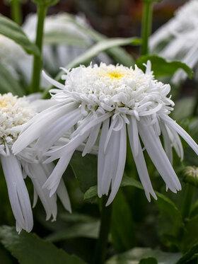 Photo of Leucanthemum Double Angel Daisy