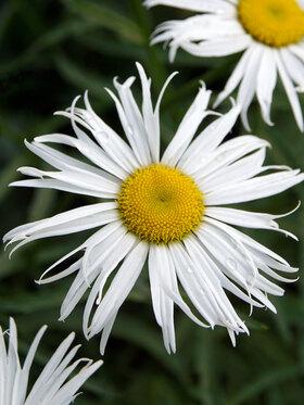 Photo of Leucanthemum Sweet Daisy Cher