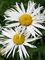 Leucanthemum Sweet Daisy Cher
