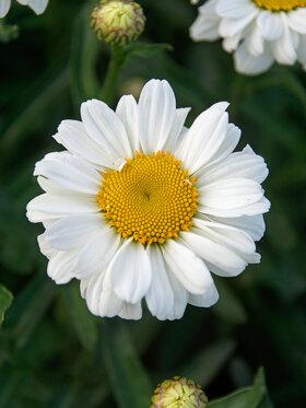 Photo of Leucanthemum Sweet Daisy Jane