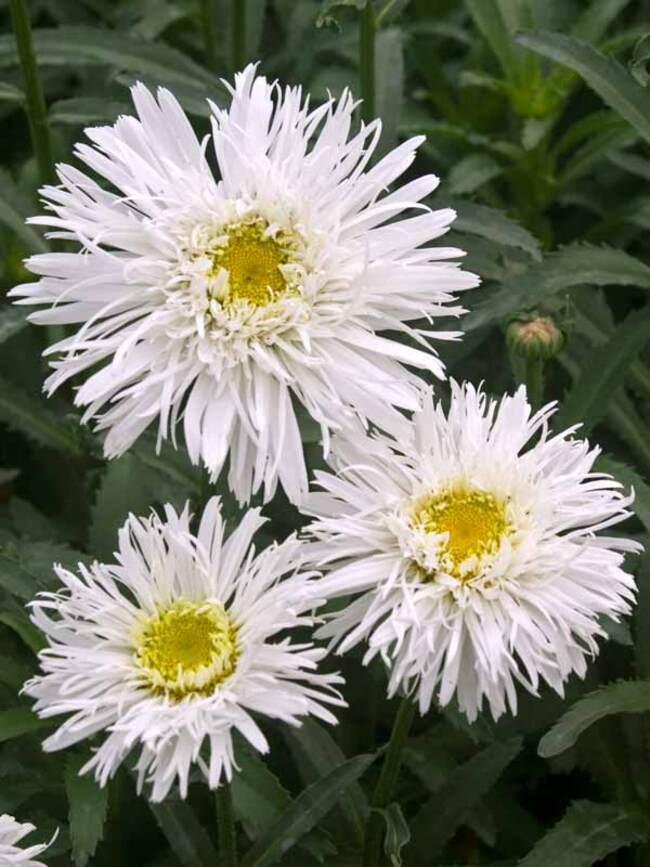 Leucanthemum Fluffy