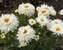 Leucanthemum LaSpider