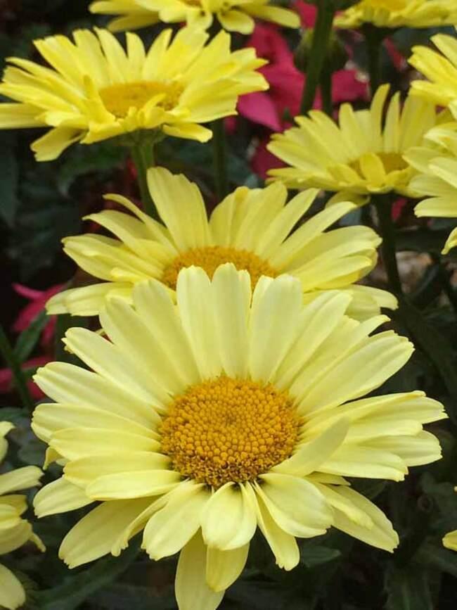 Leucanthemum Real Sunbeam