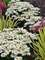 Leucanthemum Whoops a Daisy