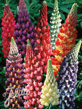 Lupine Woodfield Hybrids