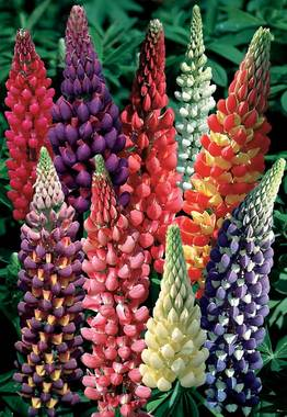 Next generation of Lupines