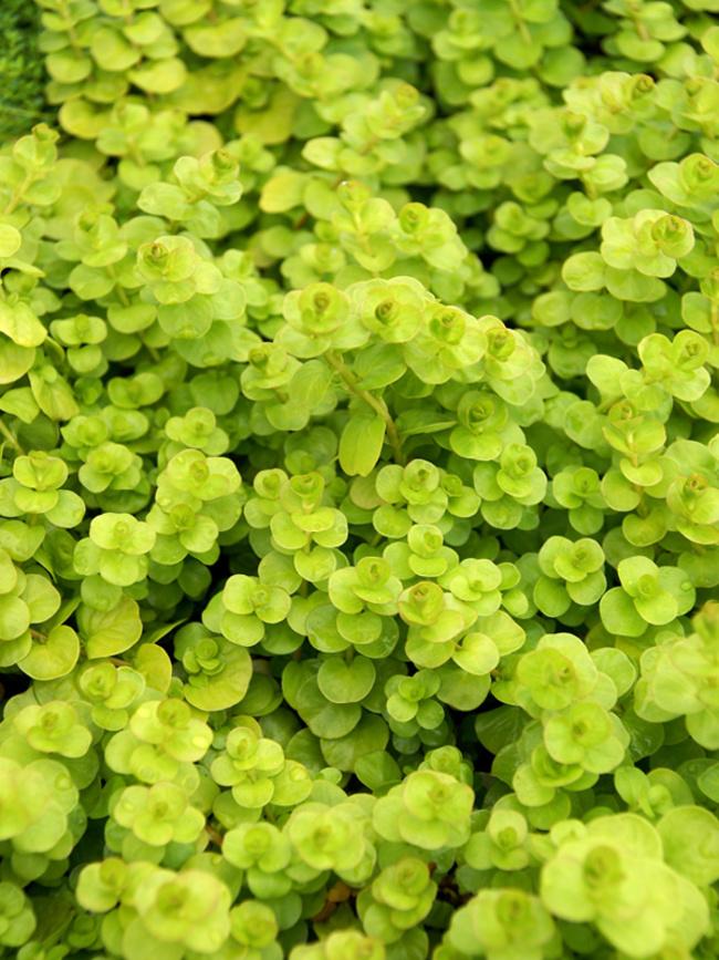 Lysimachia Aurea Bluestone Perennials, Is Creeping Jenny A Good Ground Cover