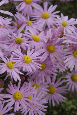 RUBELLUM  Mum. Lavender Pink daisies with yellow centers