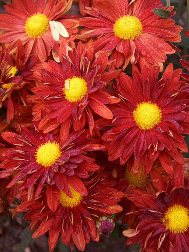 Mum Daisy-Red