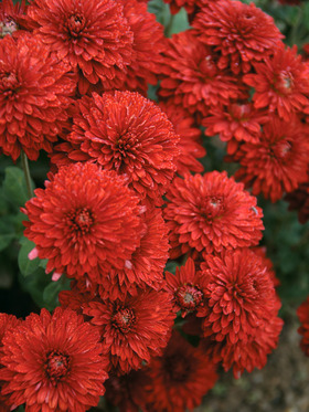 Red Spectacular Cushion mum