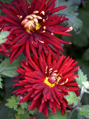 Deep red Garden Mum