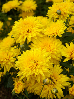 Yellow Spectacular Cushion mum