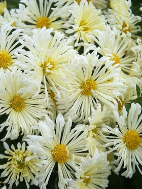 White with yellow blush Spoon Mum