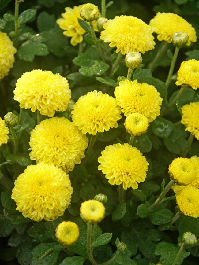 Mum Lemon-Baby-Tears