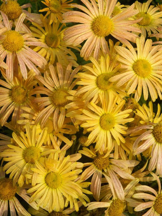 Chrysanthemum Mary-Stoker