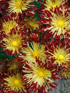 Chrysanthemums mums bluestone perennials mightylinksfo